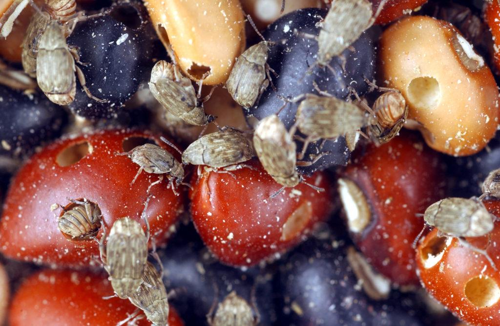 Pea weevils in cow peas