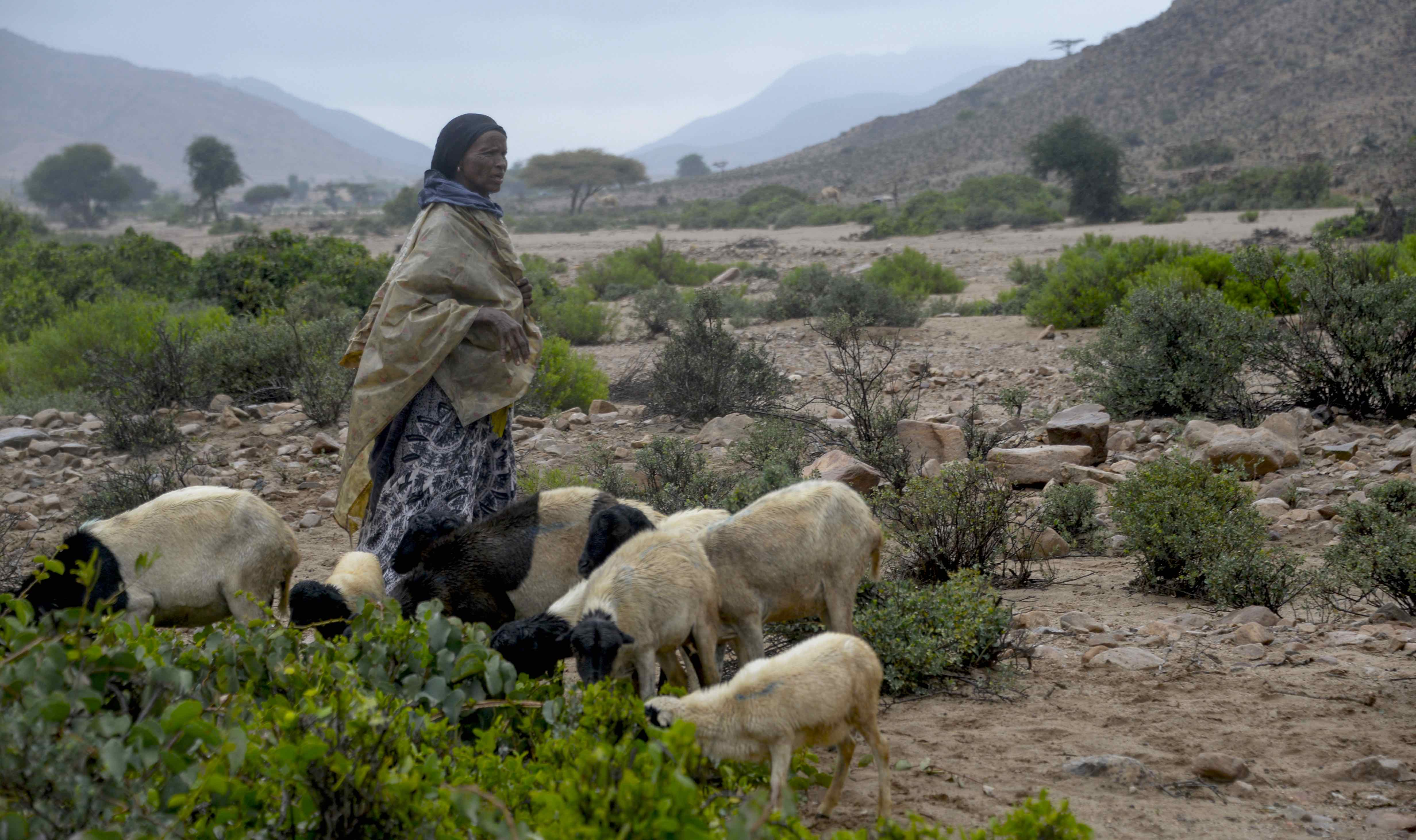 A Djiboutian shepherd  Photo Credit: Google Stock